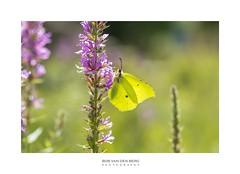 here I Am (Zino2009 (bob van den berg)) Tags: butterfly nature green light sunlight backlight shape bright color summer hot natural eyecatcher flower wild insect hangingout lazy