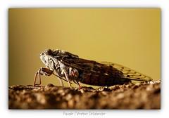 Cigale de l'Orne (Pascale Ménétrier Delalandre) Tags: cigaledelorne cigaledufrêne cigaleméridionale cicadaorni faune insectes hemiptera neoptera cicadoidea gard canoneos70d canonef100mmf28lmacroisusm pascaleménétrierdelalandre animal insecte extérieur ngg