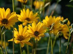 Summer Yellows (David S Wilson) Tags: lumix 2018 garden daisies yellow