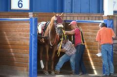 2016-08-19 (4) r1 #6 Morning Vow (JLeeFleenor) Tags: photos photography md maryland marylandracing marylandhorseracing horses thoroughbreds equine equestrian cheval cavalo cavallo cavall caballo pferd paard perd hevonen hest hestur cal kon konj beygir capall ceffyl cuddy yarraman faras alogo soos kuda uma pfeerd koin حصان кон 马 häst άλογο סוס घोड़ा 馬 koń лошадь paddock