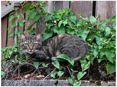 Camouflaged (prima seadiva) Tags: alley camouflage cat weeds morningglory