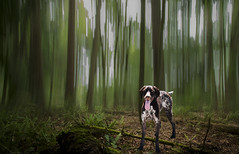 Nothing but a hound dog (Ian@NZFlickr) Tags: composite icm 3shots seattle dog forest