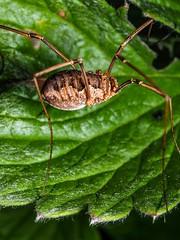 Five legged Phalangium opilio. (daghellem) Tags: spiders opiliones phalangiumopilio