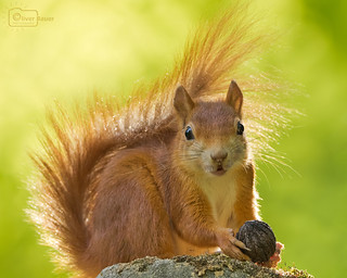 Squirrel And Its Nut