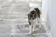 Chat (Parikia - Paros) (olivier.ghettem) Tags: greece grèce chat cat chatengrèce paros cyclades animal animaldecompagnie parikia