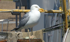 Heringsmöwe, wachsam (antje whv) Tags: silbermöwe möwen gulls vögel birds tiere animals