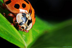 Lady Bird (Allan Jones Photographer) Tags: macro ladybird beetle extrememacro allanjonesphotographer canon5div canonmpe65mmf2815xmacro