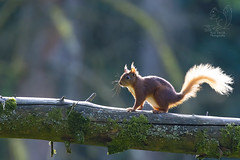 Red Squirrel (roderick smith) Tags: redsquirrel sciurusvulgaris snaizeholmeforest yorkshire canon eos6dmkii ef100400mmislmkii ef14xextendermkiii