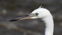 Little Egret-7D2_6693-001 (cherrytree54) Tags: egret little bird heron rye harbour harbor canon sigma 150600 7dmkii