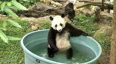 2018_07-25j (gkoo19681) Tags: beibei chubbycubby fuzzywuzzy adorableears brighteyed pooltime stayingcool allwet comfy toocute searching waiting sosad poorbaby beingadorable toohot meltinghearts amazing ccncby nationalzoo