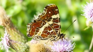 Butterfly - 5610
