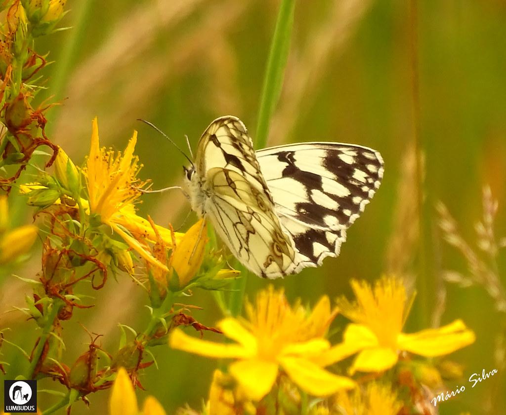 Águas Frias (Chaves) - ... borboleta entre as flores campestres ...