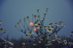 Evening meadow (Łukasz Ostrowski) Tags: flower bokeh blue meadow grass field evening nikon d5200 grain noise