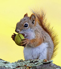 Red-Squirrel-39w (egdc211) Tags: canon connecticutwildlife naturewatcher nature newenglandwildlife newenglandwildlifephotography wildlife willingtonwildlife outdoors