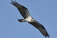 _A734947 (bram-sowers) Tags: sonyfe2470gm sonyfe100400mmgm sonya7riii warsawvirginia rappahannockriver eagle osprey tycho chez