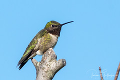 Ruby Throated Hummingbird (Ron Gallagher Photography) Tags: rubythroatedhummingbird ruby red hummingbird hummer bird birds birding birder birders