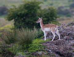 Fallow Deer 2018-5776 (seandarcy2) Tags: mammals deer fallow mull uk