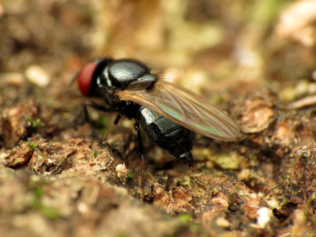 Lonchaeidae online dating
