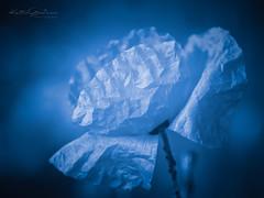 Fragile (Karsten Gieselmann) Tags: 40150mmf28 blau blumen blüten bokeh dof em5markii farbe mzuiko microfourthirds mohn monochrome natur olympus pflanzen schwarzweis schärfentiefe bw blackwhite blossom blue color flower kgiesel m43 mft mono nature poppy sw teublitz bayern deutschland
