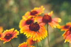 Golden bee (Inka56) Tags: macroorcloseup 7dwf hbw bokeh flowers bee nature garden