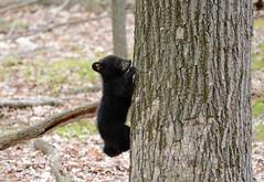Black Bear Cub (av8s) Tags: blackbear bear cub nature wildlife photography nikon d7100 sigma 120400mm pennsylvania pa