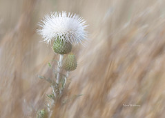 White Thistle in Windy Prairie Grass (Pragmatic1111) Tags: thistle white prairie grass brown nikon d850 400mmf28g outdoors wichitawildliferefuge bokeh flower bloom blossom