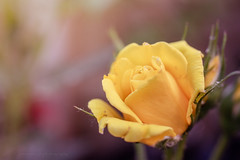 Sony a7 50mm 2.8 macro (Jasrmcf) Tags: ilce7 sel50m28 sony sony50mm sonyimages sonya7 fullframe smooth blur 50mm28macro macrotube detail depthoffield dof garden nature ngc greatphotographers colourartaward colourful rose flowers flower beautiful dreamy