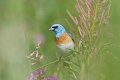 Luzuli Bunting (Alan Gutsell) Tags: birds wildlife photo canon camera alan nature canada birding hotspots luzuli bunting lazulibunting songbird nationalpark