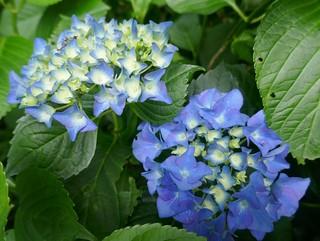 Au jardin, les rois de l'été hydrangea macrophylla, Bosdarros, Béarn, Pyrénées Atlantiques, Nouvelle-Aquitaine, France.