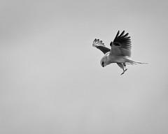 White-tailed Kite #94 (lennycarl08) Tags: raptor hawk birds bird birdofprey northerncalifornia eastbay whitetailedkite