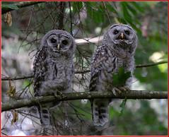 Happy Canada Day (Pius Sullivan) Tags: barred owl babies wild wildlife outdoors canada
