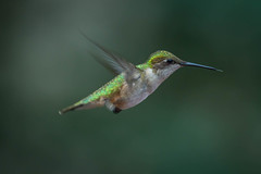 in the green (jimmy_racoon) Tags: canon 400mm f56l 5d mk2 beak birds green hummingbird nature prime sleak canon400mmf56l canon5dmk2