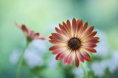 osteaspermum 0931 (junjiaoyama) Tags: japan flower osteaspermun plant summer yellow bokeh macro brown red