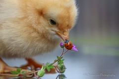 What are you doing? (K.Yemenjian Photography) Tags: ladybug crazy beaks babychick chick chicks chicken insects macro closeup details detailed explore discover challenges canont5i canon animal beautyofnature nature colorful yellow