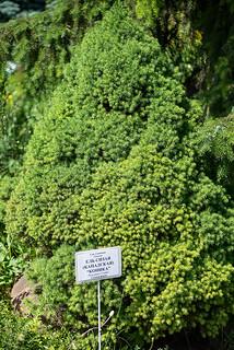 Picea glauca 'Conica' (Pinaceae)
