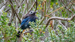 Steller's Jay who wanted to be a Vulture (Bob Gunderson) Tags: birds california corvids cyanocittastelleri jays marincounty northbay northerncalifornia stellersjay tennesseevalley