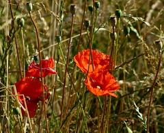 Mohn (isajachevalier) Tags: blüte blume pflanze natur rot panasonicdmcfz150