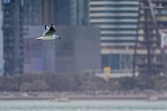 Flight of a Seagull through the city ... (Bijanfotografy) Tags: doha dohaqatar dohacorniche dohacornichqatar qatar bird birdinflight bif seagull city buildings towers urban nikon nikond500 nikondx nikonafp70300vr nikonafplenses