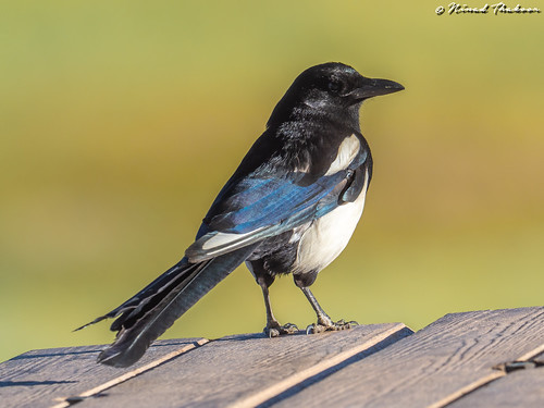 "Black-billed Magpie (Lifer) • <a style=""font-size:0.8em;"" href=""http://www.flickr.com/photos/59465790@N04/43256205321/"" target=""_blank"">View on Flickr</a>"