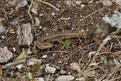 IMG_2366 (Laurent Lebois ©) Tags: laurentlebois francelac de nantua ain france reptile rettile reptil рептилия lézard lizard lucertola lagarto eidechse ящерица sauria hepetology herping