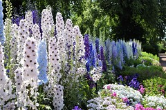 Lupins (Harry McGregor) Tags: garden flower colourful lupins dumfrieshouse ayrshire scotland eastayrshire nikon d3300 harrymcgregor 1 july 2018
