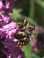 Teamwork (neusiedler) Tags: wespe wasp
