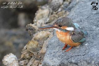 Young Common Kingfisher Bird @ Khor Kalba, Sharjah, UAE