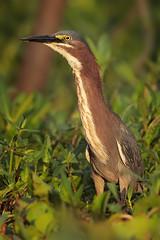Green Heron (Greg Lavaty Photography) Tags: greenheron butoridesvirescens texas june brazosbend statepark ftbendcounty birdphotography outdoors bird nature wildlife