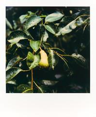 untitled-2 (dvlmnkillatron) Tags: film polaroid polaroidsx70 analog instantfilm polaroidoriginals pears leaves rain drops green