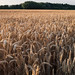 Golden Crop