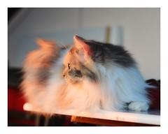 watchin the sunset (BKFofOF) Tags: nikkor85mm fx nikon d610 charlotte angora langhaarkatze cat katze pet