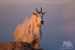 Mountain Goat (fascinationwildlife) Tags: animal mammal wild wildlife nature natur usa america colorado mountain goat schneeziege rock mount evans peak berge rocky mountains sunrise dawn first light