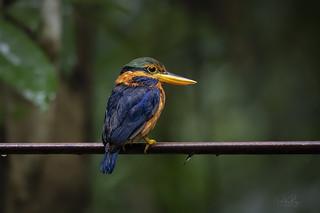 Rufous Collared Kingfisher (Actenoides Concretus)