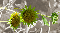 Sunflower Pop (charlottes flowers) Tags: gamblegarden paloalto sunflowers photomanipulation sliderssunday